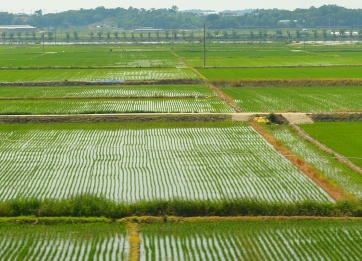 Reisfelder säumen immer wieder den Weg nach Gwangju,